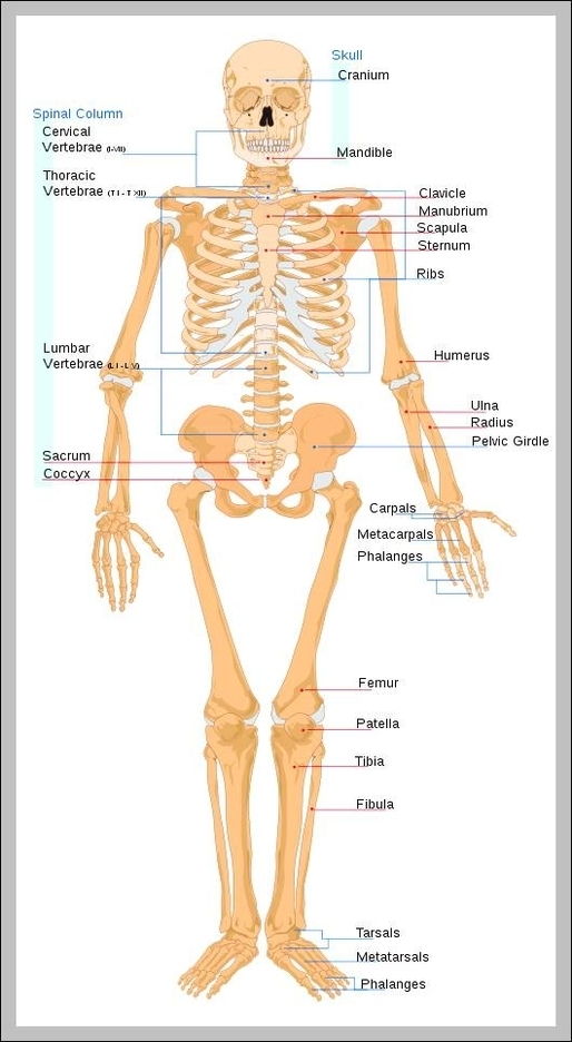 Skeletal System Graph Diagram Page 2
