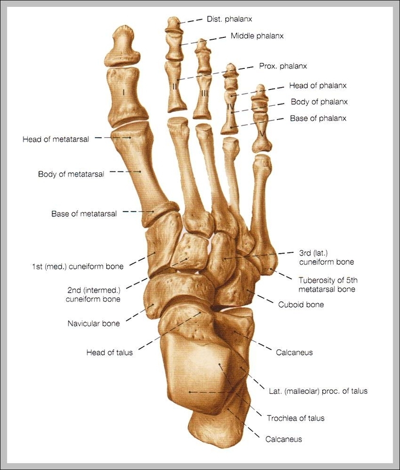 Human skeleton anatomy graph diagram skeleton foot diagram chart diagrams and charts with labels this diagram depicts skeleton foot ccuart Gallery