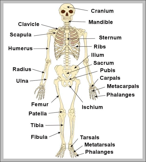 human skeleton | Graph Diagram