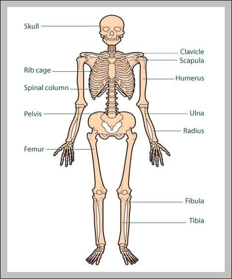 Human Skeletal Structure Diagram - Schematics Wiring Diagrams •