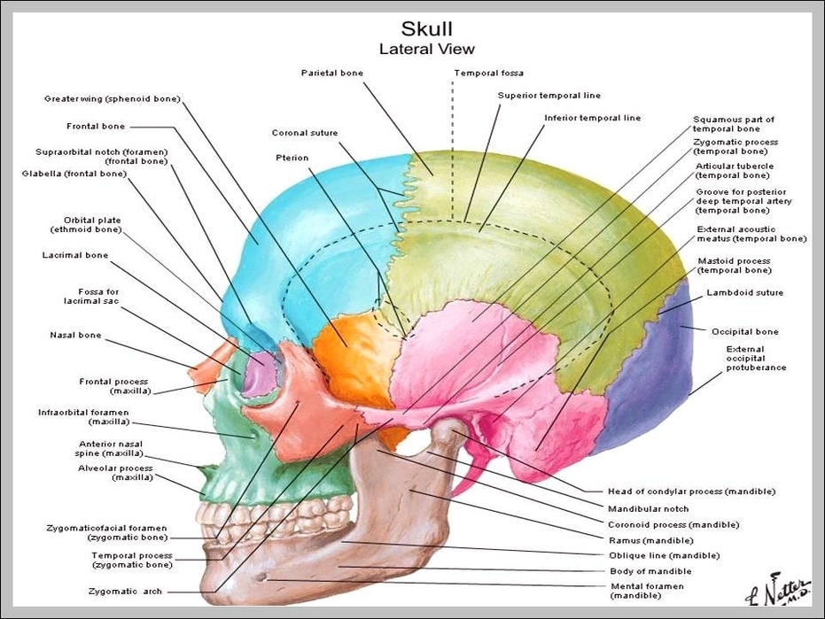 Skull Labeling Diagram - Block And Schematic Diagrams •