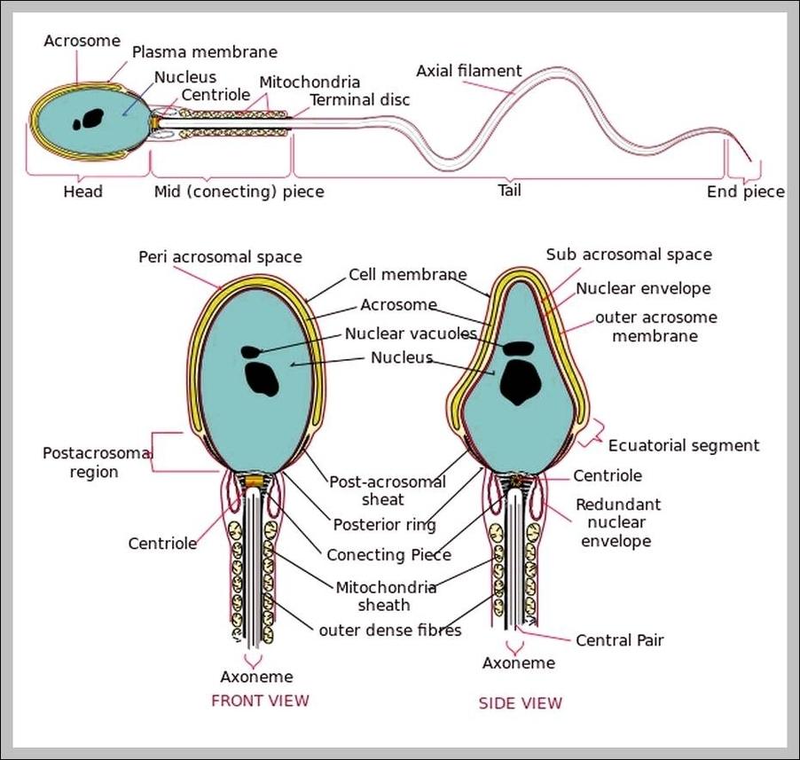 sperm cell diagrams