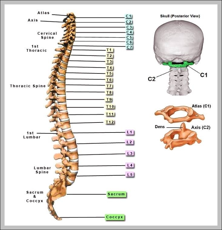 Spinal Bones Diagram With Label Schematics Wiring Diagrams