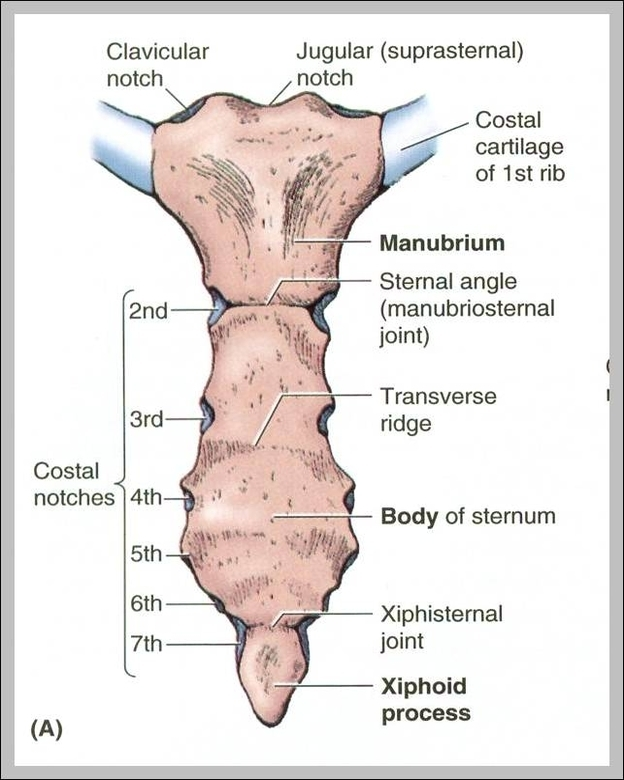Sternum pictures | Graph Diagram