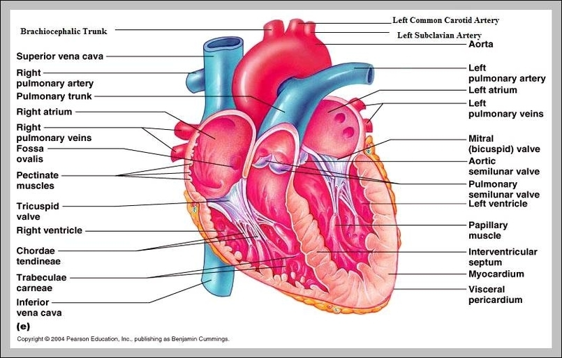 Structure of the heart graph diagram structure of the heart ccuart Choice Image