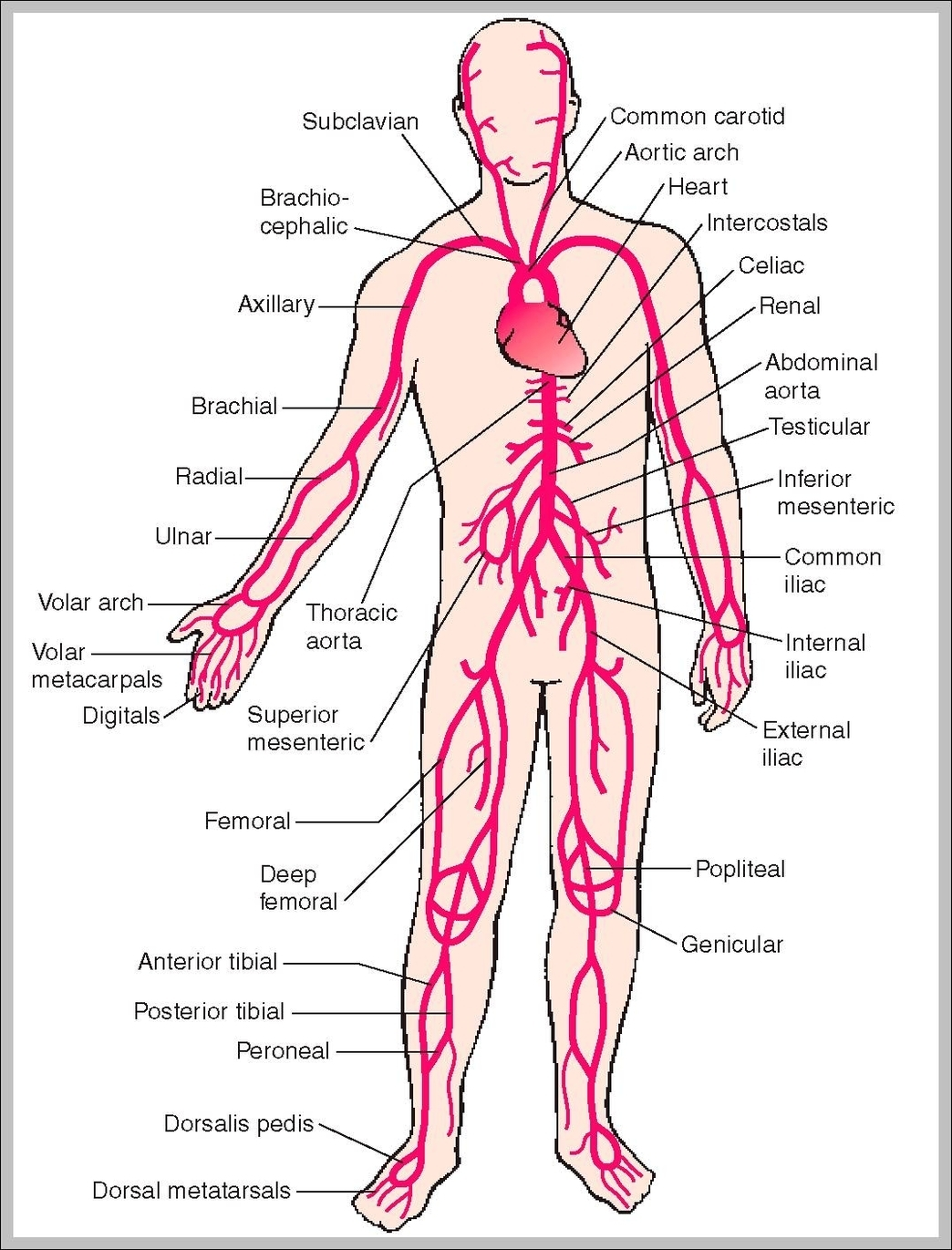 human body diagram graph diagram rh graphdiagram com a human body diagram a full body diagram