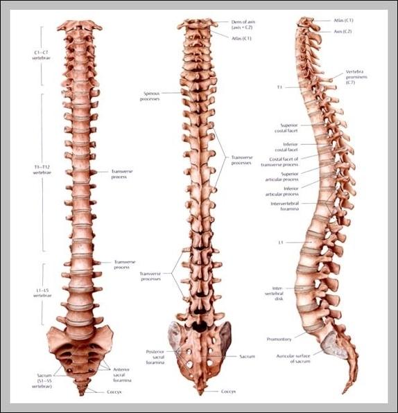 t 7 vertebrae