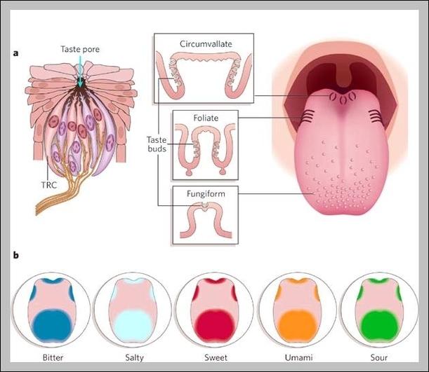 taste buds on tongue diagram