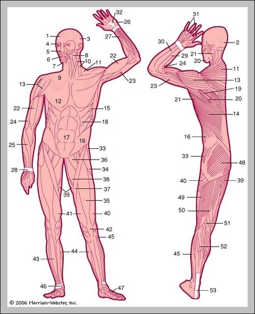 Tendons in the body graph diagram tendons in the body ccuart Image collections