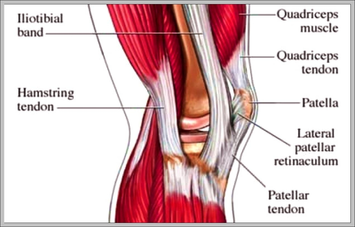 Tendons in the knee diagram | Graph Diagram
