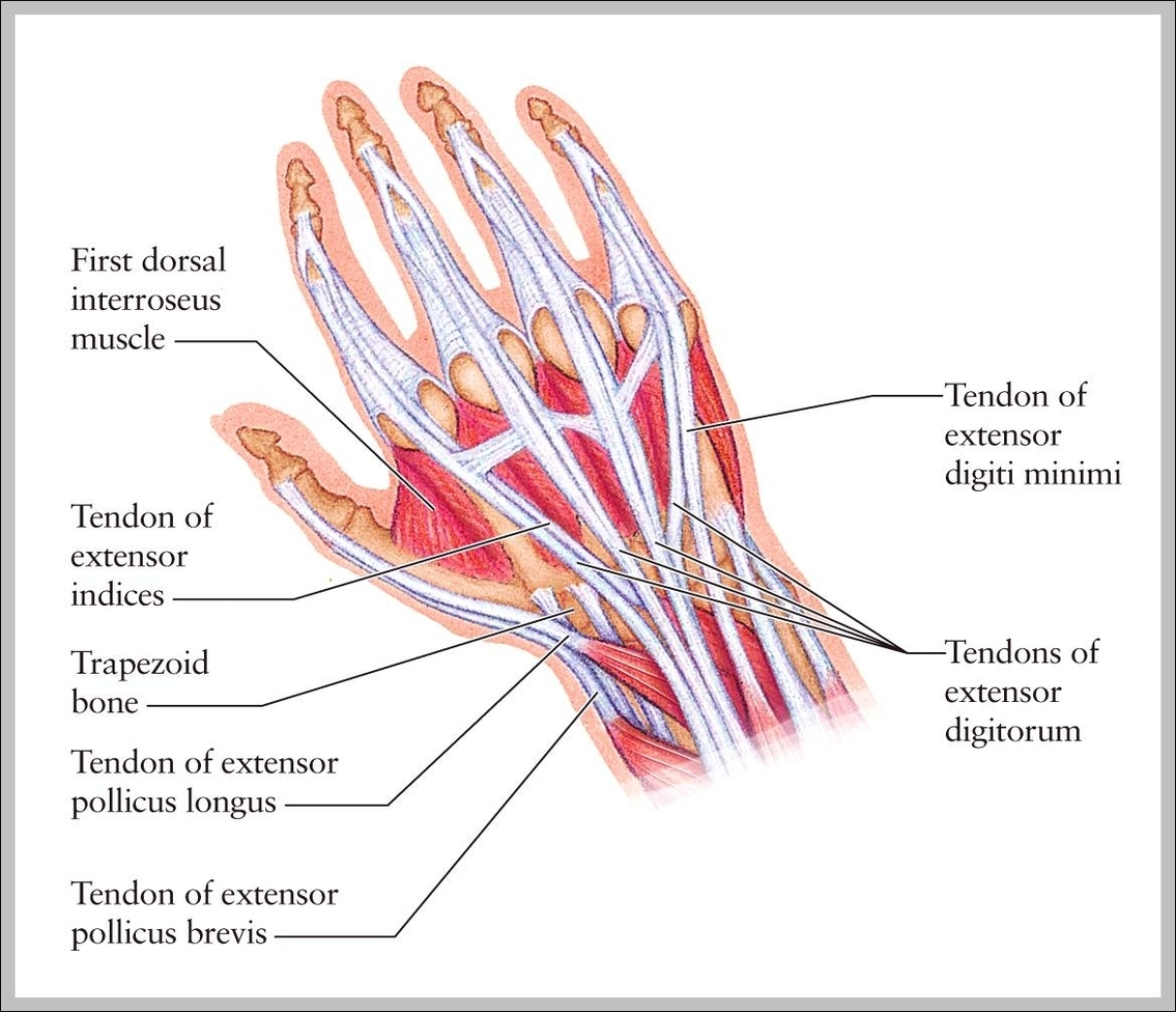Tendons Of The Hand And Wrist Graph Diagram