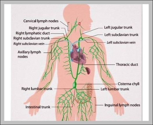 The human body organs labeled | Graph Diagram