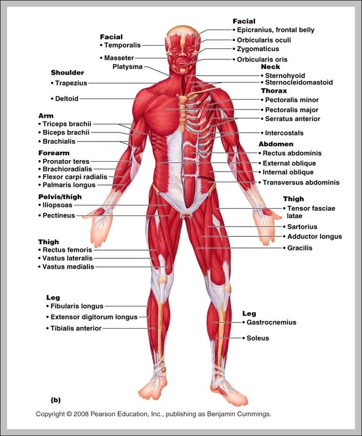 The Muscular System Diagram Graph Diagram