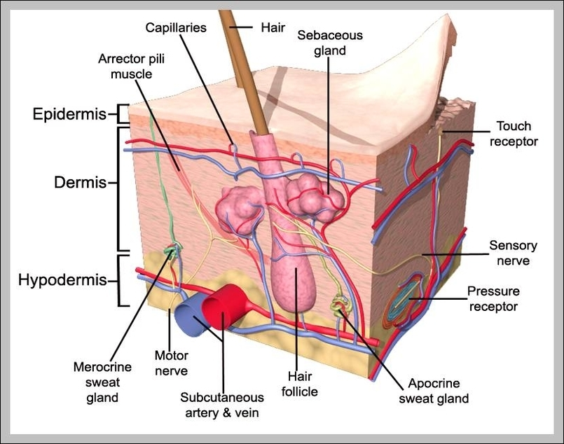The Skin Integumentary System Graph Diagram
