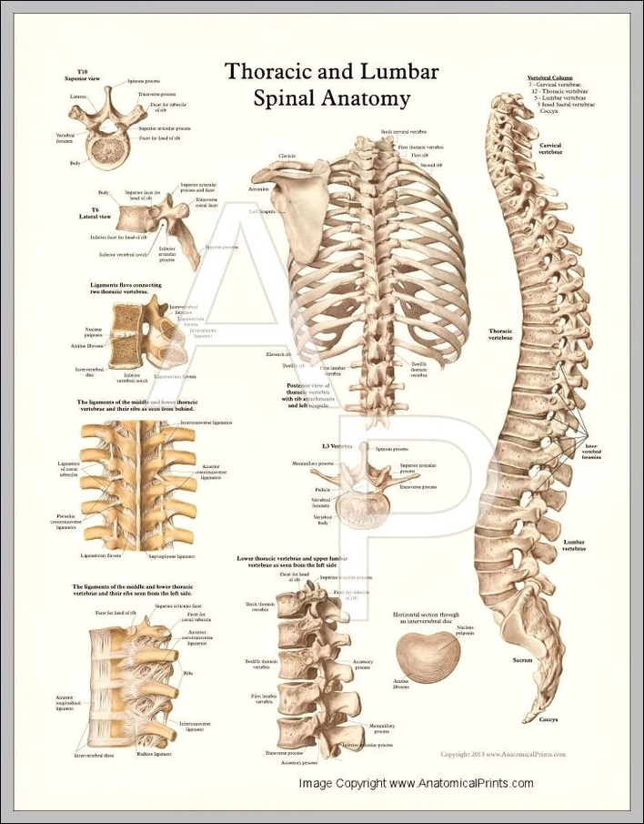 Thoracic Spine Anatomy Pictures Graph Diagram