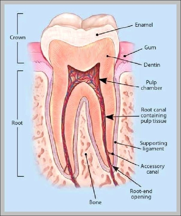 Tooth Anatomy Graph Diagram