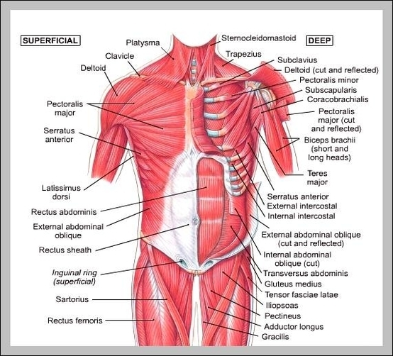 Muscle Chart Graph Diagram Page 2
