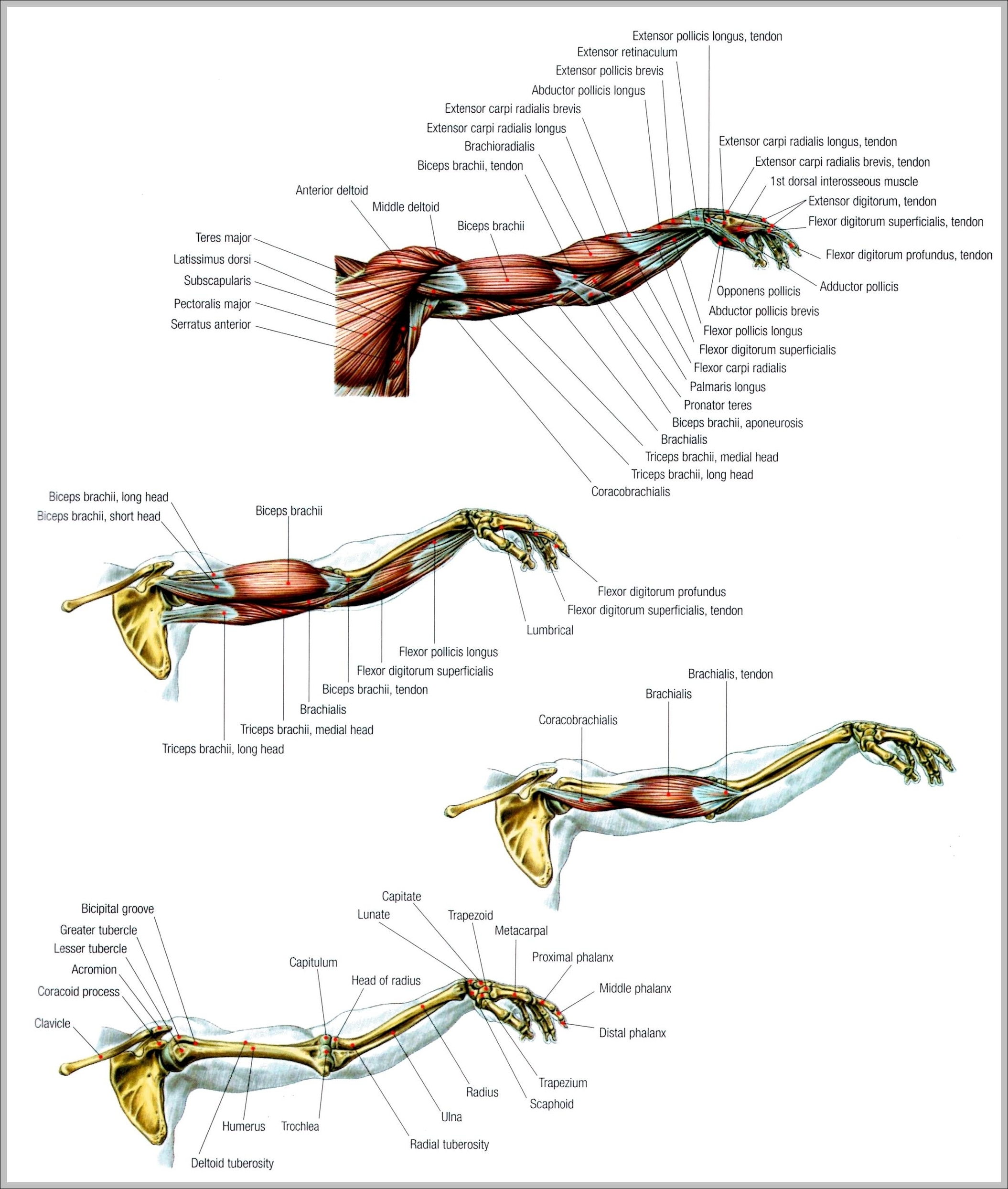 Muscles System Graph Diagram