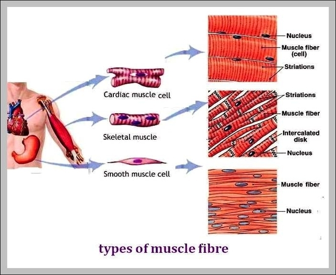 Human Muscle Diagram Graph Diagram