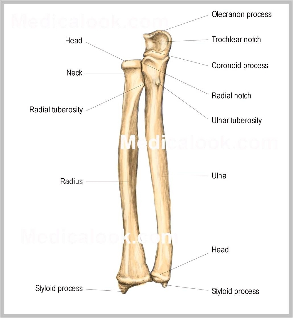 head ulna diagram wiring diagrams source Tibia Diagram ulna diagram wiring diagram libraries tarsals diagram head ulna diagram