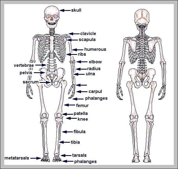 Human Skeleton Anatomy Graph Diagram
