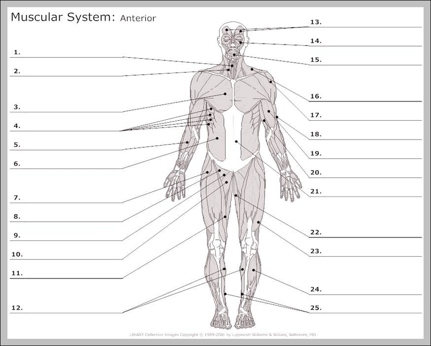Human muscles graph diagram unlabeled muscle diagram diagram chart diagrams and charts with labels this diagram depicts unlabeled muscle diagram ccuart Image collections