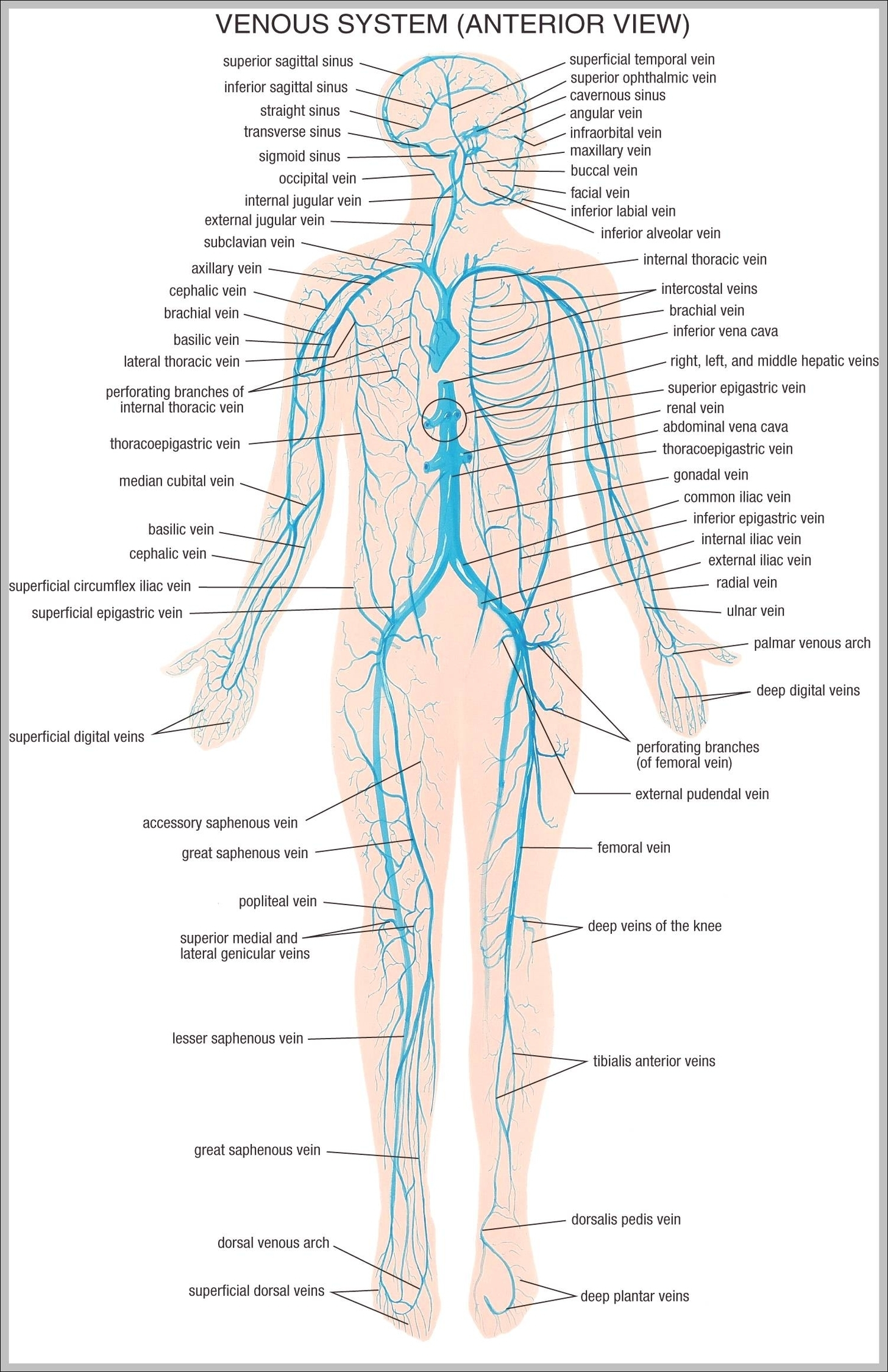 Anatomy system graph diagram page 2 vein system of the human body diagram chart diagrams and charts with labels this diagram depicts vein system of the human body ccuart Image collections