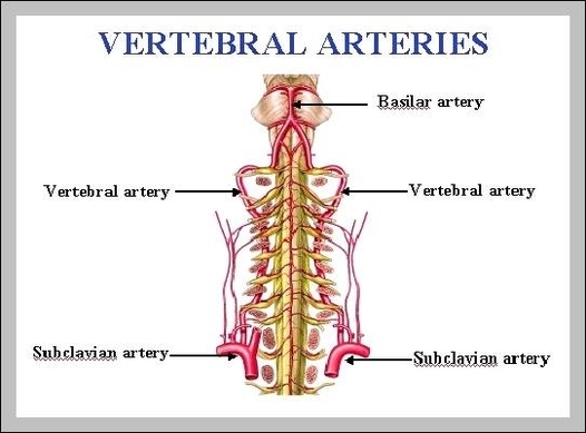 vertebral arteries