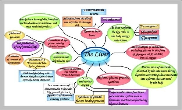 What are the function of the liver graph diagram what are the function of the liver ccuart Gallery