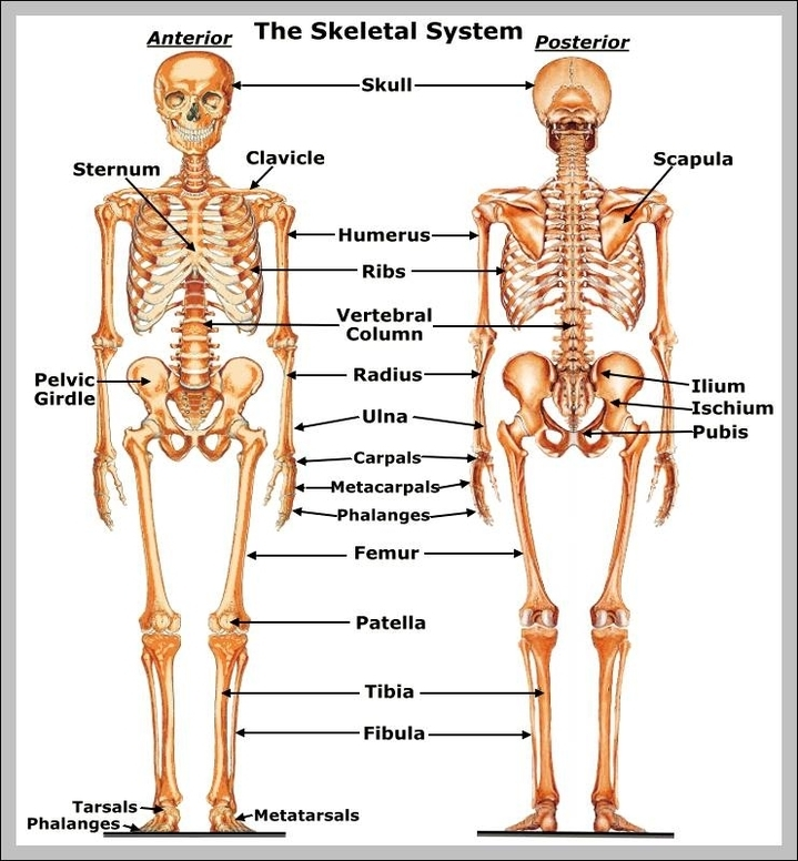 Human Skeleton Graph Diagram