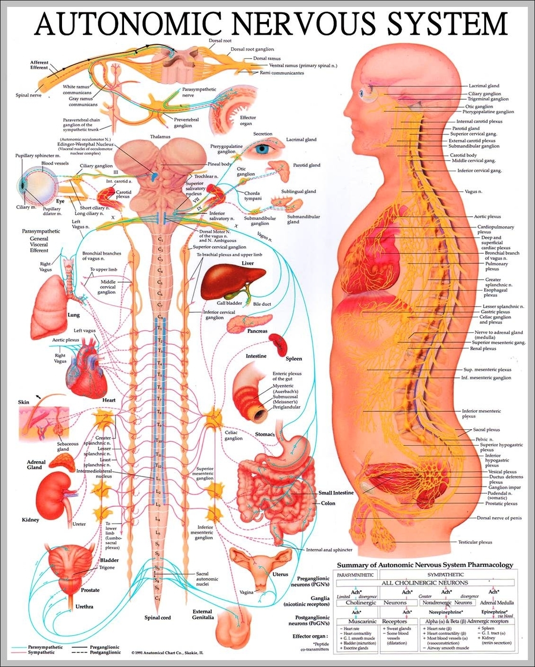 Human nerves graph diagram what is the nervous system diagram chart diagrams and charts with labels this diagram depicts what is the nervous system ccuart Gallery