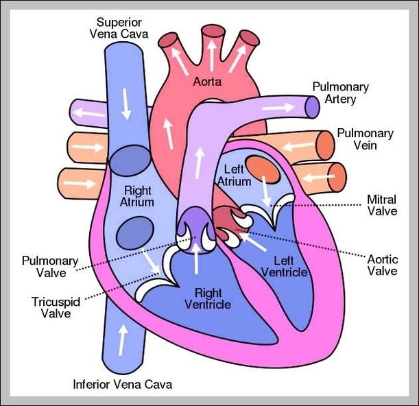 heart anatomy   Graph Diagram