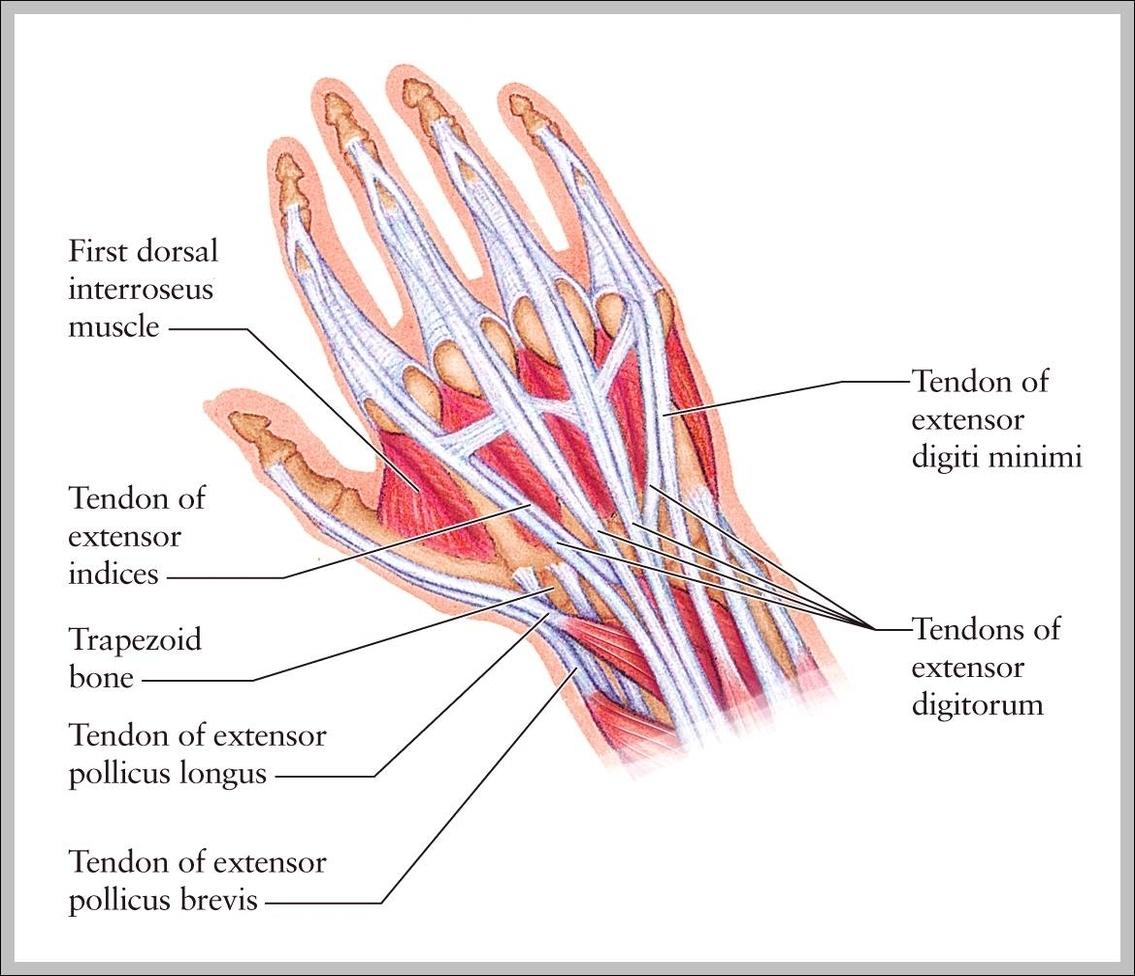 Wrist Tendons Anatomy Graph Diagram